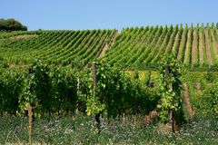 Vineyard in Alsace, France. Vineyards of white wine near Riquewirh, Alsace, France Stock Photo