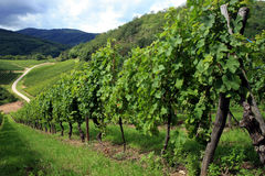 Vineyard, Alsace, France Stock Images