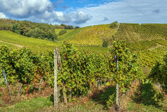 Vineyard in Alsace, France Royalty Free Stock Photo