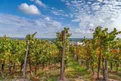 Vineyard in Alsace, France Royalty Free Stock Photos