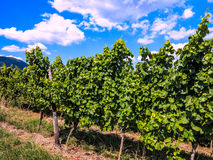 Vineyard in Alsace, France Stock Images