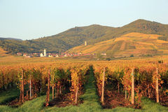 Vineyard of Alsace (Katzenthal) Stock Images