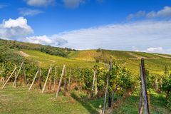 Vineyard in Alsace, France. Vineyard in Alsace near Dambach-la-Ville, France.Autumn royalty free stock photo