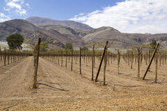 Vineyard in Andes Stock Photography