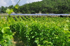 Vineyard in Aosta region, Italy and solar panels. Solar energy and vineyard in the Aosta Valley region, Italy Stock Images