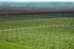 Vineyard and apple orchard Stock Photography