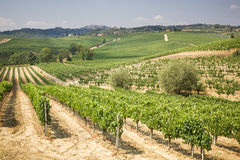 Vineyard in the area of ​​production of Vino Nobile, Montepulciano, Italy Royalty Free Stock Image
