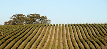 Vineyard in Australia Royalty Free Stock Images