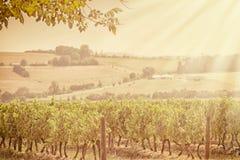 Vineyard in Australian countryside. Vineyard in countryside in South Gippsland, Australia Stock Photos
