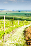 Vineyard in Austria Stock Image
