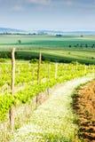 Vineyard in Austria. Vineyard Nebenfuhr, Lower Austria, Austria stock image