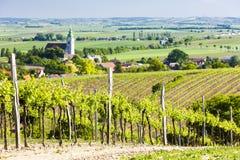 Vineyard, Austria. Vineyard near Unterretzbach, Lower Austria, Austria Royalty Free Stock Image
