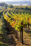 Vineyard, Austria Stock Photography