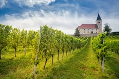 Vineyard in Austria. At the sunset stock photography