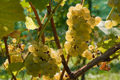 Vineyard in autmun. Vineyard in autumn with grapes royalty free stock photography