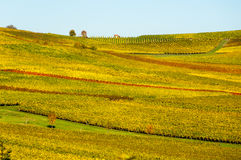Vineyard during autum in Rhine-Hesse, Rheingau, Germany. Rhenish Hesse or Rhine-Hesse German: Rheinhessen is a region and a former government district royalty free stock images