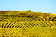 Vineyard during autum in Rhine-Hesse, Rheingau, Germany Stock Photo