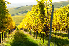 Vineyard during autum in Rhine-Hesse, Rheingau, Germany. Rhenish Hesse or Rhine-Hesse German: Rheinhessen is a region and a former government district royalty free stock photo