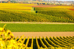 Vineyard during autum in Rhine-Hesse, Rheingau, Germany. Rhenish Hesse or Rhine-Hesse German: Rheinhessen is a region and a former government district royalty free stock image