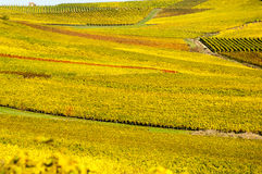 Vineyard during autum in Rhine-Hesse, Rheingau, Germany. Rhenish Hesse or Rhine-Hesse German: Rheinhessen is a region and a former government district stock photos
