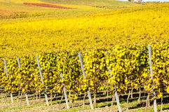 Vineyard during autum in Rhine-Hesse, Rheingau, Germany Stock Images