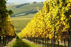 Vineyard during autum in Rhine-Hesse, Rheingau, Germany Royalty Free Stock Photo
