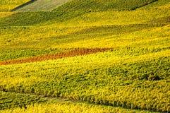 Vineyard during autum in Rhine-Hesse, Rheingau, Germany Stock Image