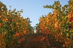 Vineyard in Autumn. Vine row displaying beautiful autumn colors Stock Photos