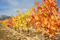 Vineyard in Autumn. La Rioja, Spain Royalty Free Stock Photography