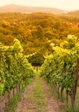 Vineyard in autumn. Beautiful German Vineyard in autumn Royalty Free Stock Image