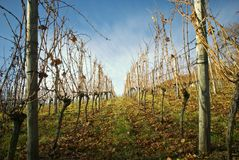 Vineyard in autumn. Picture of a vinyard in autumn Stock Photos