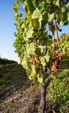 Vineyard in autumn. Stock Images