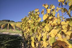 Vineyard in autumn Stock Image