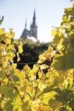 Vineyard in autumn Stock Images