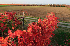 Vineyard in autumn Royalty Free Stock Image