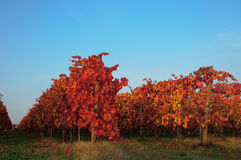 Vineyard in autumn Royalty Free Stock Photos