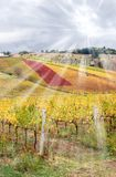Vineyard in autumn Stock Photography