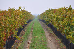 Vineyard in Autumn Stock Photography