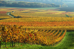 Vineyard in autumn. Stock Photos