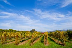 Vineyard in Autumn. Vineyard in California in Autumn stock images
