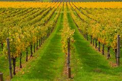 Vineyard in autumn. Vineyard in California in Autumn Royalty Free Stock Photography