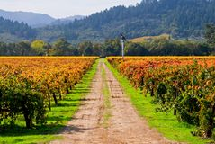 Vineyard in autumn. Vineyard in California in Autumn Stock Images
