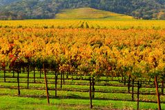 Vineyard in Autumn. Vineyard in California in Autumn Royalty Free Stock Images
