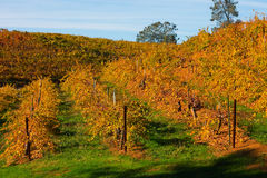 Vineyard in Autumn Royalty Free Stock Photo