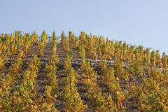 Vineyard in autumn. Colorful vineyard on a hill in autumn Stock Photography