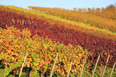 Vineyard in autumn. Vineyard with leaves in different autumn colors Royalty Free Stock Images