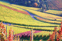 Vineyard in autumn. In a suburb of Stuttgart Royalty Free Stock Photography