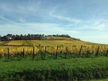 Vineyard in autumn Royalty Free Stock Image