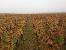 Vineyard in autumn. Vineyard in Alsace late autumn Royalty Free Stock Photos