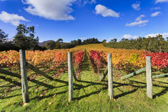Vineyard Autumn Royalty Free Stock Image